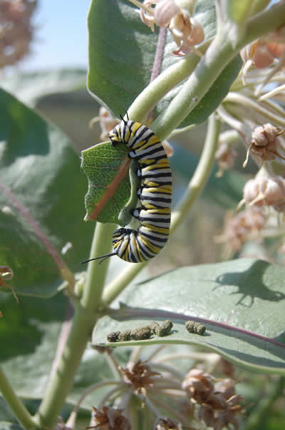 A close-up of a Monarch caterpillar on a plant.