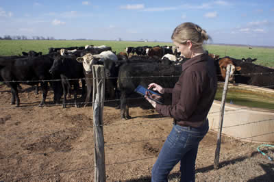 A woman using a tablet in front of cows.